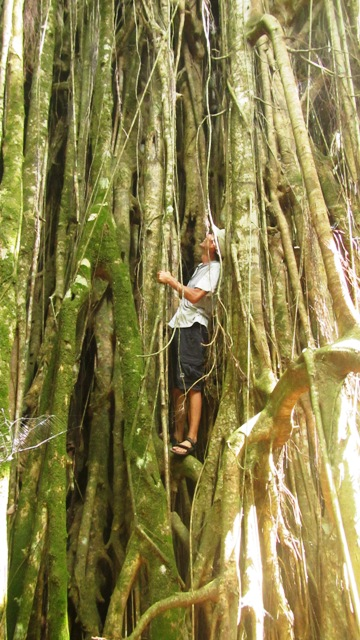 """Ein riesiger Banyan-Baum erhebt sich nicht weit davon im Wald. Früher waren  diese Bäume """"tapu"""", also tabu, Gebeine von Toten wurden hier gefunden."""